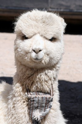 5627ac683 Peru Unlimited Headquarters NEW TRIMFIT Premium Baby Alpaca Sweaters ...